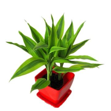 【立泰悦达】花卉 盆栽植物 水培植物 绿色植物 花盆